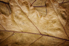 Oak leaves clouse-up. Dry brown oak leaves clouse-up texturd background Stock Photos