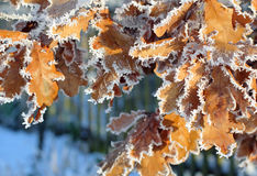 Oak leaves covered with hoar-frost Royalty Free Stock Photography