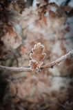 Oak leaves covered with hoarfrost Royalty Free Stock Images