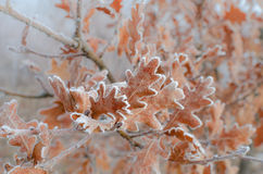 Oak leaves covered with hoarfrost Stock Images
