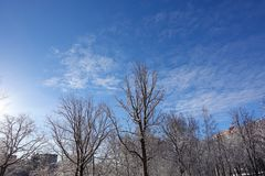 Oak without leaves covered with snow against the blue sky. Winter sunny frosty day.  royalty free stock photo