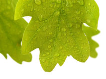 Oak leaves covered water drops isolated on white Royalty Free Stock Image