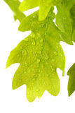 Oak leaves covered water drops isolated on white Stock Image