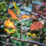 Oak Leaves Decaying on a Tree Stock Photo