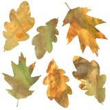 Oak leaves Royalty Free Stock Photos