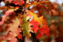 Oak Leaves in Fall Stock Image