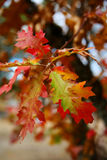 Oak Leaves in Fall royalty free stock photography
