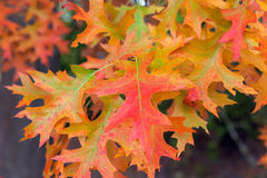 Oak Leaves in Fall Colors Royalty Free Stock Photos