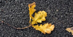 Oak leaves. Stock Photo