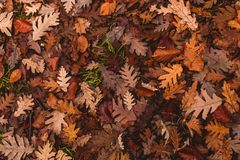 Oak leaves fallen to the ground in autumn stock image