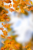 Oak leaves foliage Stock Photos