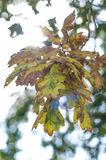 Oak leaves. In the forest Stock Images