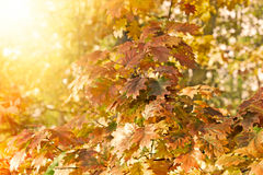 Oak leaves in forest lit by sulight Royalty Free Stock Images