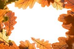 Oak leaves frame Royalty Free Stock Image