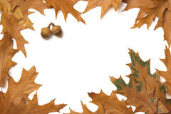 Oak leaves frame Stock Photos