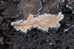 Oak Leaves in the frost Stock Image