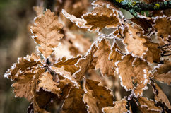 Oak leaves. Frostbitten dry oak leaves on a limb Stock Image