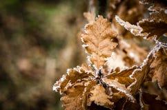 Oak leaves. Frostbitten dry oak leaves on a limb Royalty Free Stock Photography