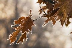 Oak Leaves. Frozen oak leaves in the early winter Stock Images
