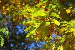 Oak leaves, golden autumn Royalty Free Stock Image