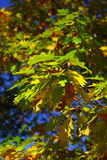 Oak leaves, golden autumn Stock Images