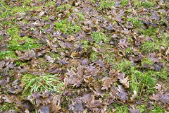 Oak leaves on the grass Stock Photo