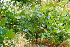 Oak, leaves, green, tree, trees, undergrowth, branches, summer, greens royalty free stock images