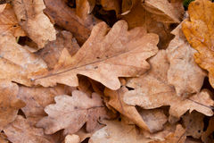 Oak leaves Stock Images