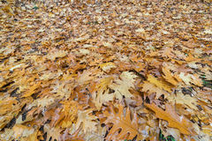 Oak Leaves on the Ground in Autumn Royalty Free Stock Photo