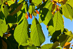 Oak leaves in harmony Royalty Free Stock Photo