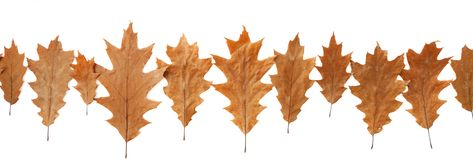 Oak leaves header Royalty Free Stock Image