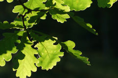 Oak leaves, illuminated by the sun, bright green on a dark background Stock Photography