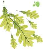 Oak leaves. Stock Photos