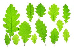 Oak leaves Stock Photos