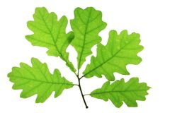 Oak leaves. Isolated against a white background (Quercus robur Royalty Free Stock Photography