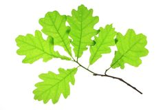 Oak leaves. Isolated against a white background (Quercus robur Stock Images