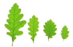 Oak leaves. Isolated against a white background (Quercus robur Stock Photography