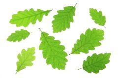 Oak leaves. Isolated against a white background (Quercus robur Royalty Free Stock Photos