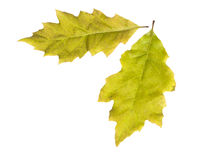 Oak leaves. Isolated on a white background Stock Images
