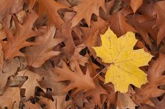 Oak leaves lying on the ground Stock Images