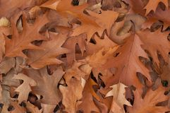 Oak leaves lying on the ground Royalty Free Stock Image