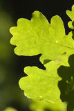 Oak leaves macro. Detail of oak leaves in a forest canopy Royalty Free Stock Photography