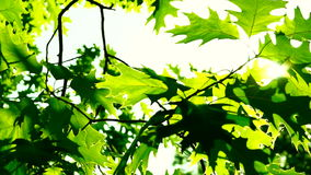 Oak leaves moved by the wind.Sun breaking through leaves.Lens flare. An oak is a tree or shrub in the genus Quercus of the beech family, Fagaceae. The leaves stock video footage