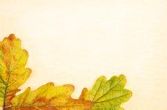 Oak leaves on parchment Stock Photo