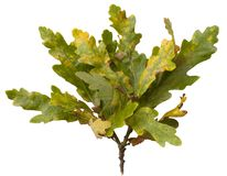 Oak leaves, Quercus robur. Cut-out oak leaves on white background Stock Photography