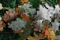 Oak leaves with rain drops. Fallen oak branch with wet leaves Stock Photography