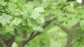 Oak leaves in the rain. Drops of rain drip onto the leaves. Oak branches sway in the wind.  stock footage