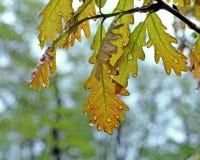 Oak leaves in the rain Stock Photos