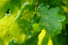 Oak leaves after rain Royalty Free Stock Photo