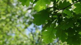 Oak leaves. The shadow under the branches of trees, oak leaves close to stock footage